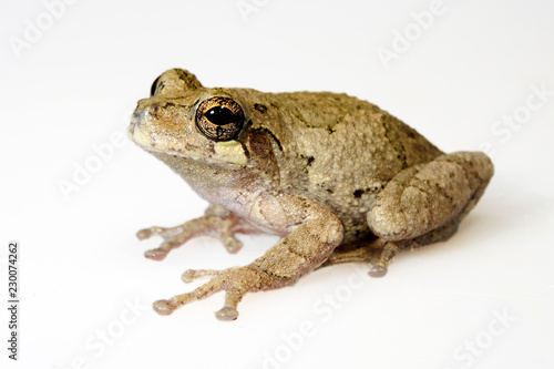 Grauer Laubfrosch (Dryopytes versicolor) - gray treefrog