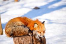 Cute Sleepy Red Fox In Winter ...