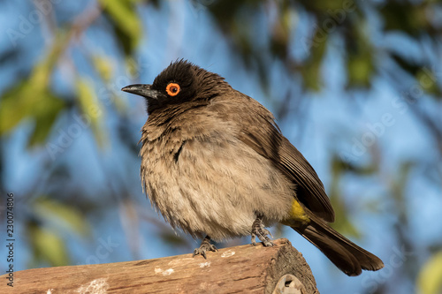 African redeyed bulbul in Augrabies Falls National Park
