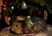 Guinea Pig As A Christmas Gift...