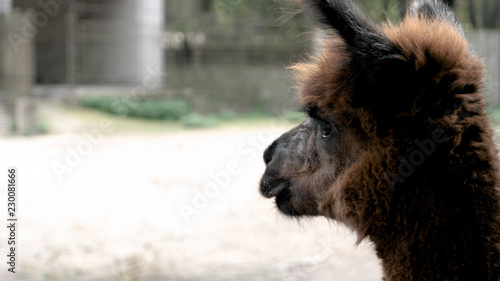 Lama in the zoo. Concept: Outdoors, Zoo, Park, Safari, Nature Reserve.