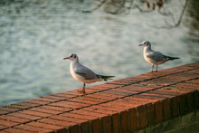 Young White And Grey Seagulls, Chroicocephalus Ridibundus, Standing On Red Brick Wall, Sunny Autumn Evening, Blurry Dark Blue Water Background, City Landscape