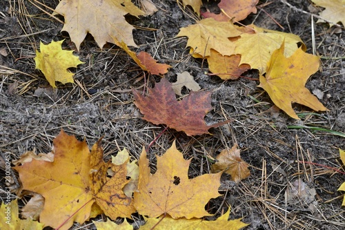 Photo Разноцветные кленовые листья осенью