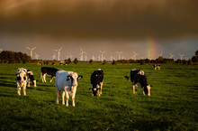 Rainbow Clouds And Dutch Cows