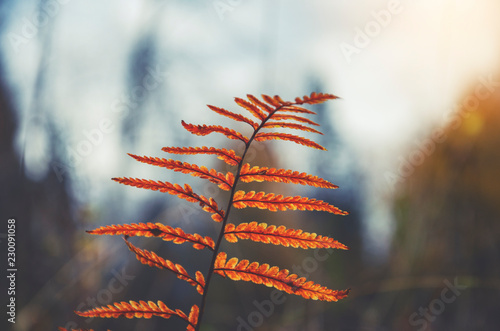In de dag Herfst Branch of fern with orange leaves on a background of autumn forest