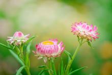 Helichrysum ( Straw Flower )bl...