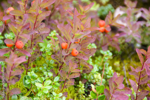 Soap Berry Bush With Orange Berries And Pink And Green Leaves