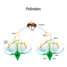 The Process Of Cross-pollination Using An Animal Of Pollinator (bee).