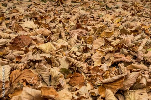 Fotografering  foglie secche
