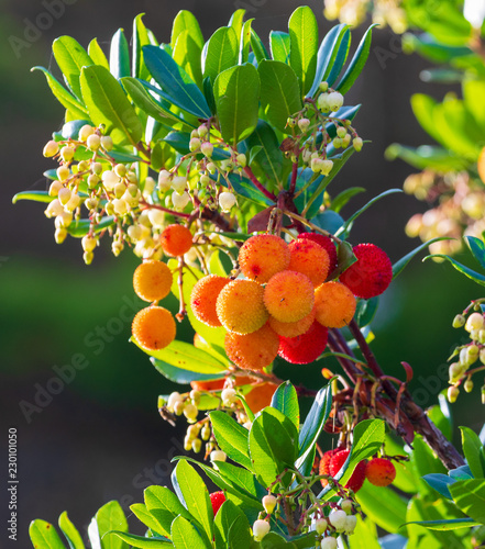 Fotografiet Mature and semi-ripe fruits of madroño (Ripe arbutus)