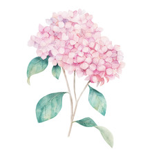 Watercolor Hand Drawn Illustration. Flower Hydrangea Print. Botanical Isolated Design