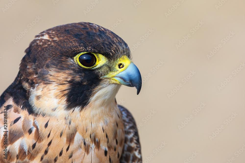 Fotografie, Obraz Eleonora's falcon (Falco eleonorae) closeup