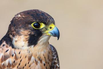 Eleonora's falcon (Falco eleonorae) closeup. Portrait of falcon looking right, photographed in profile. Beautiful bird of prey isolated.