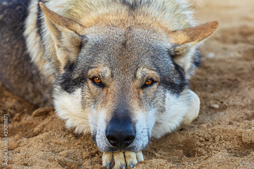Grey Wolf (Canis lupus) closeup portrait. Alpha Grey wolf resting with head on paw and looking at camera