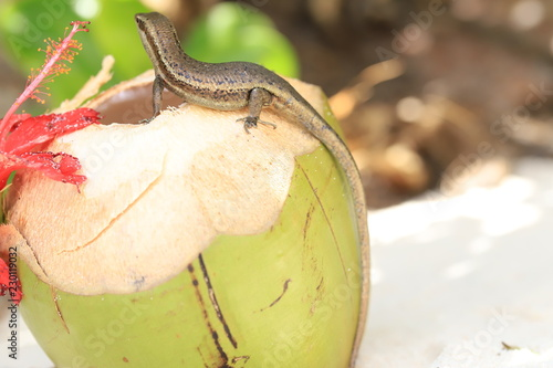 lizard eating a coconut