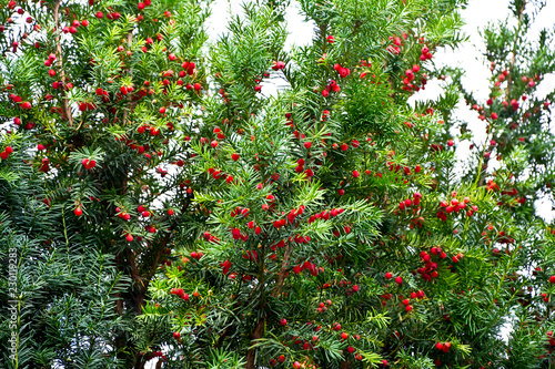 Fotografie, Obraz A thick yew bush with ripe red fruits