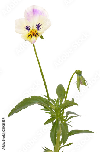 Pansies Viola tricolor flower