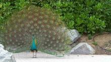 Beautiful Blue Peacock Spreads...