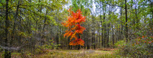 A Single Brightly Colored Maple Tree Displaying Red Leaves Stands On The Edge Of A Clearing Surrounded By Oak Trees At The Winamac Fish And Wildlife Area In Northern Indiana