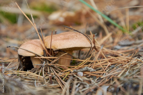 Suillus bovinus, also known as the Jersey cow mushroom or bovine bolete
