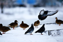 Bird On Winter Pond Ducks Overwinter