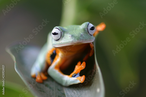 Wallace's flying frog, frogs, tree frogs, close up,