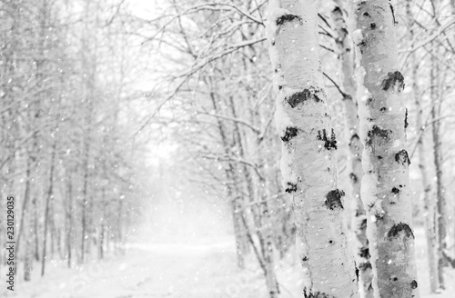 Fotomural Winter landscape with snowy birch trees in the park
