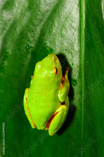 Poster Frog Riedfrosch (Hyperolius tuberilinguis) - tinker reed frog
