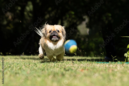 Fotografie, Obraz  Pekingese chasing and playing with a ball outside