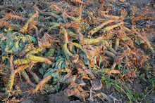 Crop Waste Heap Of White Cabbage Torn Root
