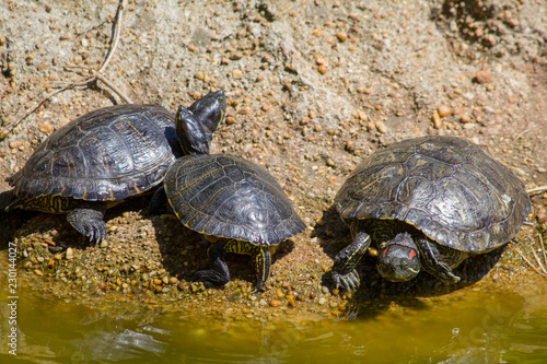 Foto op Aluminium Schildpad turtle on a rock