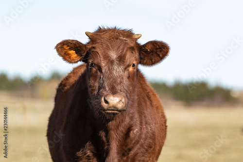 Photo  Young Cow Close up