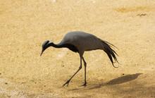An Image Of Common  Crane In Riyadh Zoo.