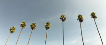 Classic Los Angeles Palm Trees In 2.40:1 Aspect Ratio