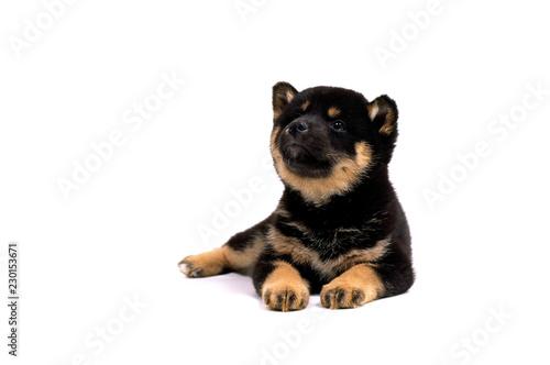 Fotografie, Obraz  見上げる子犬