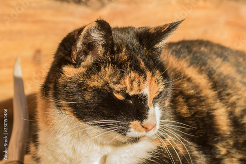 Lucille the Calico Cat Canvas Print