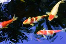 Colorful Fancy Carp Fish Or Ko...