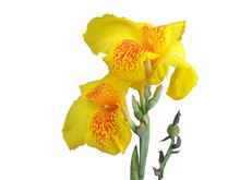 Fresh Yellow Canna Lilly Flower Isolated On White Background With Clipping Path.