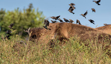 Cowbirds Eat Insects That The ...