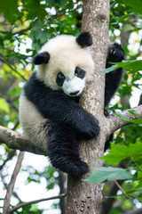Cute panda bear climbing tree