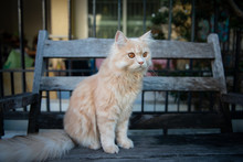 Cute Yellow Cat Sitting On The Wooden Chair