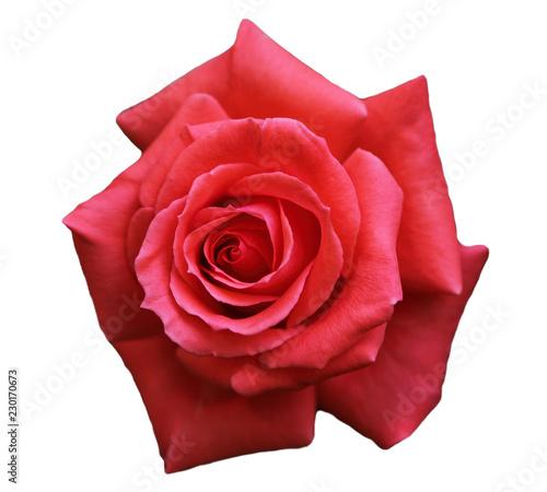 Fotografie, Obraz  Single Rose