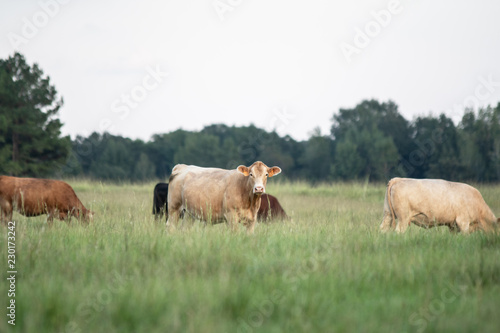 Crossbred cows in southern pasture Canvas-taulu