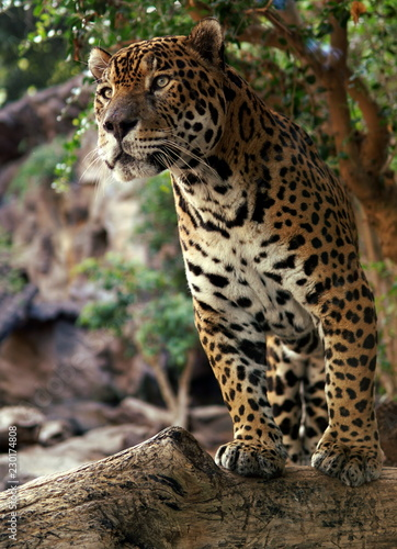 leopard in the tropical forest