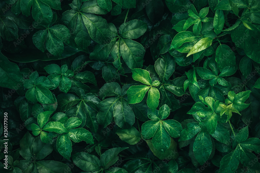 Fototapeta Foliage of tropical leaf in dark green with rain water drop on texture, abstract pattern nature background.