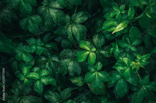Obraz Foliage of tropical leaf in dark green with rain water drop on texture, abstract pattern nature background. - fototapety do salonu