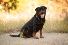 Beautiful Big Dog Breed Rottwe...