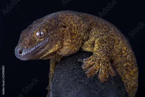 Giant bronze gecko (Ailuronyx trachygaster)