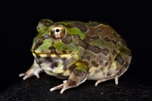 Chaco Horned Frog (Chacophrys ...