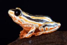 Painted Reed Frog.(Hyperolius Marmoratus Taeniatus)